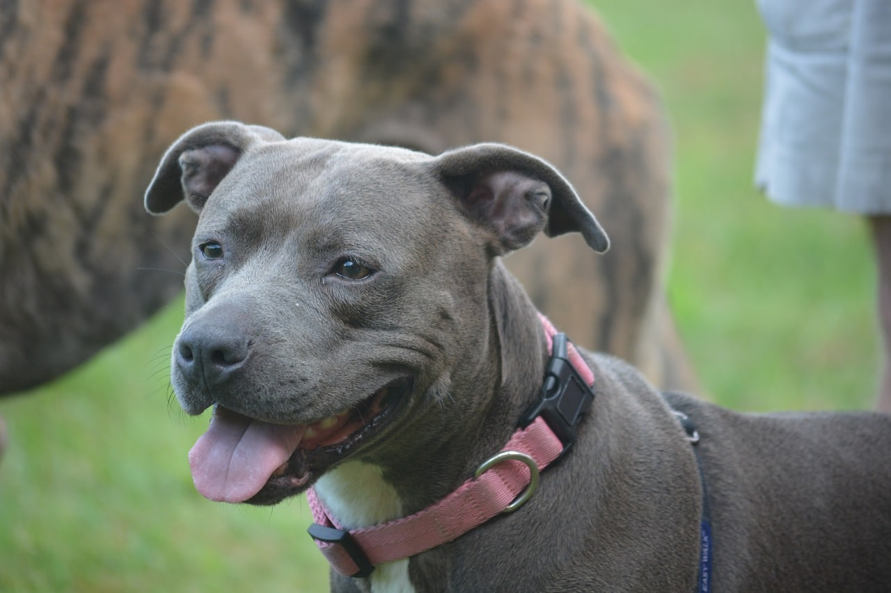 dog, pit bull, canine